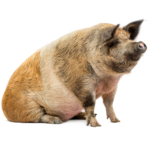 Spotted pig sititng