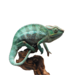 Blue Panther Chameleon